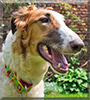 Fiska the Russian Borzoi