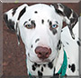 Sheldon the Dalmatian