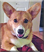 Barney the Pembroke Welsh Corgi