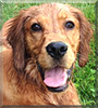 Bailey the Irish Setter, Golden Retriever