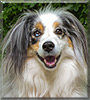 Torrey the Miniature Australian Shepherd