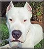 Rayden the Dogo Argentino