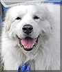 Seraph the Great Pyrenees
