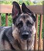 Mojo the German Shepherd Dog