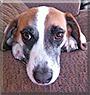 Mitch the Beagle mix