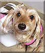 Dixie the Dachshund, Yorkshire Terrier