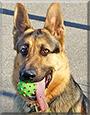 Douggie the German Shepherd Dog