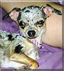Layla the Chihuahua