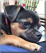 Bruin the Chihuahua, Pug