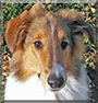 August the Rough Collie