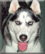 Shiloh the Siberian Husky