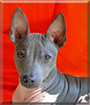 Hilla the American Hairless Terrier