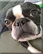 Carl the Boston Terrier