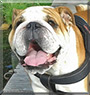 Hermann the English Bulldog