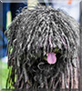 Napoleon the Puli