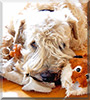 Leo the Irish Soft Coated Wheaten Terrier