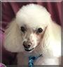 Troy the Miniature Poodle