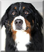 Zeus the Bernese Mountain Dog