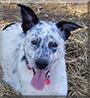 Shannon the Australian Cattle Dog/Border Collie mix