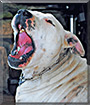 Duke the Staffordshire Terrier/Dalmatian mix