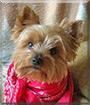 Dorotka the Yorkshire Terrier
