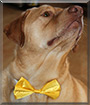 Tucker the Labrador Retriever