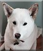 Jasper the Shiba Inu
