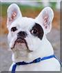 Gavr the French Bulldog