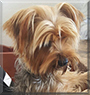 Olaf the Yorkshire Terrier