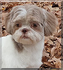 Muffin the Shih Tzu