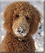 Baxter the Golden Retriever, Poodle mix