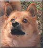 Pessi the Finnish Spitz/Lapphund