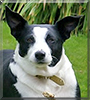 Maggie the Border Collie/Staffordshire Terrier