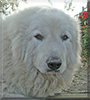 Odie the Great Pyrenees