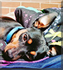 Buddy the Miniature Pinscher