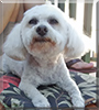 Astronomer-Heen the Maltese/Poodle mix