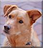 Bogie the Labrador/Coyote mix