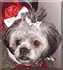 CoCo the Lhaso Apso /Poodle Mix
