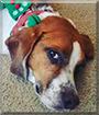 Baker the Beagle