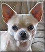 Poncho the Chihuahua