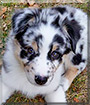Scout the Australian Shepherd