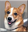 Roo III the Pembroke Welsh Corgi