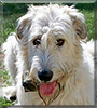 Gintaro the Irish Wolfhound