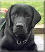Linus the Labrador Retriever