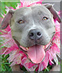 Emma Grace the American Staffordshire Terrier