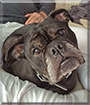 Delilah the English Bulldog, Pug