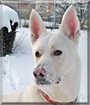 Stein the White German Shepherd, Husky