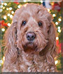 McHenry the Golden Retriever, Poodle