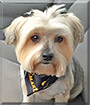 Laci the Yorkshire Terrier