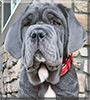 Leo the Neapolitan Mastiff